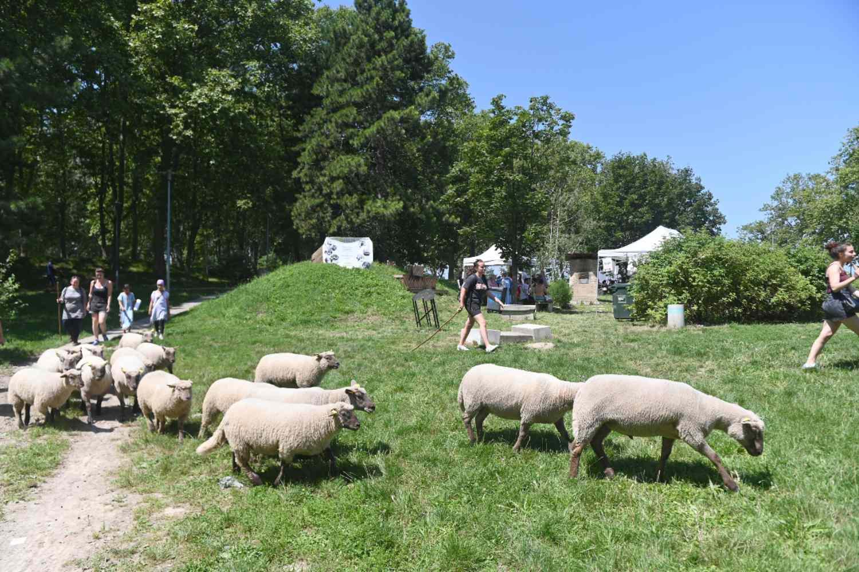 Troupeau de moutons de La Bergerie Urbaine arrivant au Mas du Taureau lors de l'événement